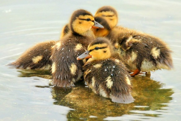 mallard-ducklings-940513_960_720
